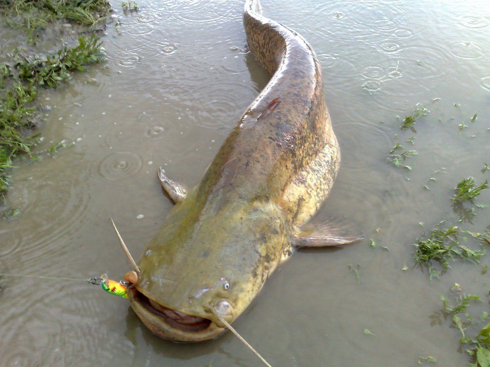 La pesca a ferrara game over il blog della pesca for Grosso pesce di lago