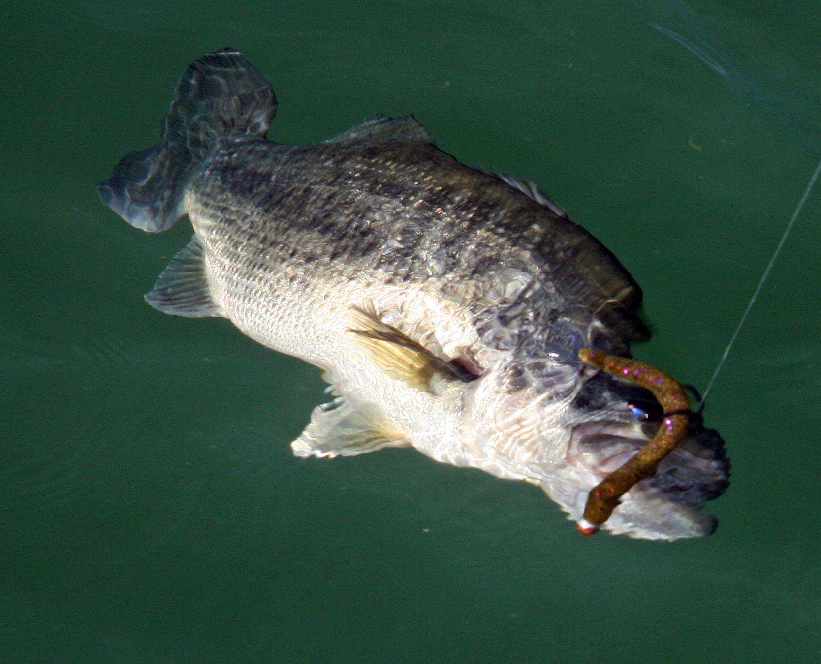 Inneschi wacky rig il blog della pesca for Wacky worm fishing