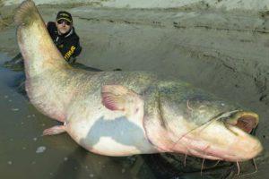 pesce-siluro