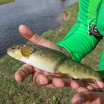 Bellissima brown trout