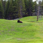 bufali-parco-yellowstone