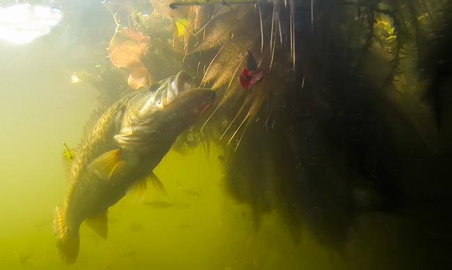 la mangiata del black bass
