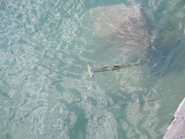 Trota marmorata contro pronto-pesca