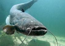 miti-e-leggende-sul-pesce-siluro