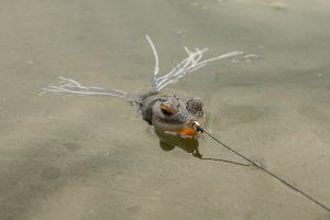 bass-fishing-frog-in-water